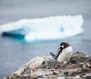 Pingouin de Gentoo Photo stock