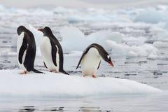 Pingouin de Gentoo Photo stock