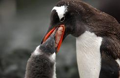 pingouin de gentoo photographie stock