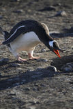 Pingouin de Gentoo - Antarctique Photos libres de droits
