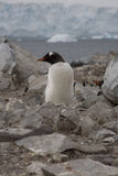 Pingouin de Gentoo, Antarctique. Photo stock