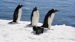 Pingouin de Gentoo avec l'appareil-photo banque de vidéos