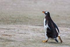 Pingouin de Gentoo, courses le long Photo libre de droits