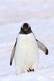 Pingouin de Gentoo donnant un coup de pied vers le haut la neige, Antarctique Photo stock