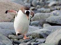 Pingouin de Gentoo en Antarctique Image libre de droits