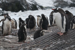 Pingouin de Gentoo en Antarctique Photos libres de droits