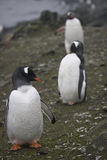 Pingouin de Gentoo en Antarctique Photo libre de droits