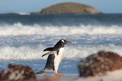 Pingouin de Gentoo flânant le long de la plage de Bertha, Falkland Islands Photo stock