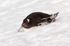 Pingouin de Gentoo glissant en bas de la pente, Antarctique Photographie stock libre de droits