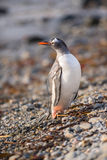Pingouin de Gentoo, la Géorgie du sud, Antarctique Photo libre de droits