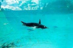 Pingouin de Gentoo (Pygoscelis Papouasie), nageant sous l'eau Photographie stock libre de droits