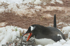 Pingouin de Gentoo sur le nid, Neko Harbor, Antarctique Image stock