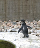Pingouin de Humboldt Photographie stock
