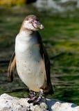 Pingouin de Humboldt Photo libre de droits