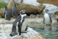 Pingouin de Humboldt image stock