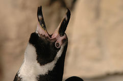 Pingouin de Humboldt Photographie stock libre de droits