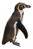 Pingouin de Humboldt Photos libres de droits