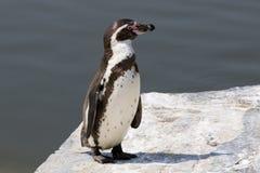 Pingouin de Humboldt Photos stock