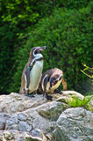 Pingouin de Humboldt au zoo de parc de Schoenbrunn à Vienne Image libre de droits