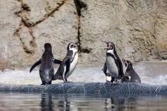 Pingouin de Humboldt au zoo de l'Orégon Image libre de droits