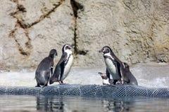 Pingouin de Humboldt au zoo de l'Orégon Images libres de droits