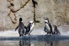 Pingouin de Humboldt au zoo de l'Orégon Image stock