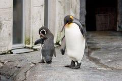 Pingouin de Humboldt et pingouin de roi marchant sur la roche image stock