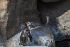 Pingouin de Humbolt sur une roche image libre de droits