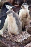 Pingouin de jugulaire avec des poussins en Antarctique Photographie stock