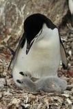 Pingouin de jugulaire avec le poussin Photographie stock libre de droits