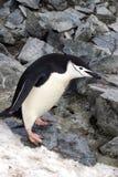 Pingouin de jugulaire devant une pile de roche en Antarctique Photo stock
