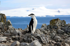 Pingouin de jugulaire en Antarctique Photographie stock