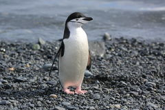 Pingouin de jugulaire en Antarctique Photo libre de droits