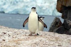 Pingouin de jugulaire marchant sur la neige en Antarctique Photo stock