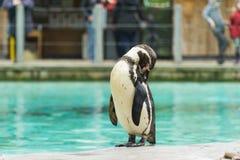 Pingouin de l'Antartic Image libre de droits