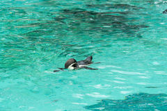 Pingouin de l'Antartic Images libres de droits