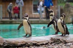 Pingouin de l'Antartic Photographie stock libre de droits