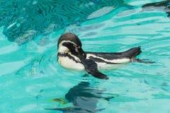 Pingouin de l'Antartic Image stock