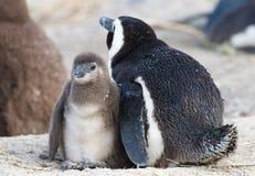Pingouin de mère et de chéri Photos libres de droits