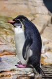Pingouin de macaronis (chrysolophus d'Eudyptes) photographie stock libre de droits