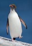 Pingouin de macaronis marchant de la mer