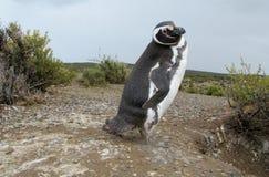 Pingouin de Magellan Image libre de droits