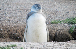 Pingouin de Magellan sur le rivage Photographie stock