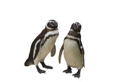 Pingouin de Magellanic Image libre de droits