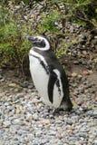Pingouin de Magellanic Photographie stock