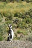 Pingouin de Magellanic criant Image libre de droits