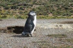 Pingouin de Magellanic dans le buisson Photographie stock libre de droits