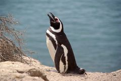 Pingouin de Magellanic dans le Patagonia Photographie stock