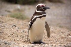 Pingouin de Magellanic dans le Patagonia Photographie stock libre de droits