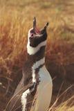 Pingouin de Magellanic dans le Patagonia Photo libre de droits